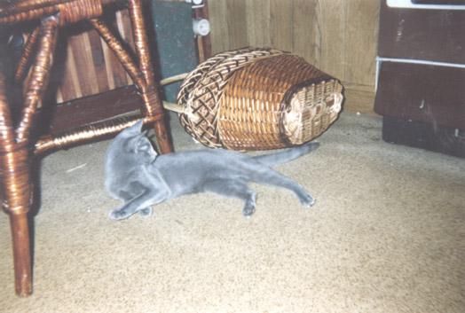 Русской голубой кошки фотография 9